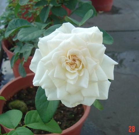 白色梅安04白色梅楊