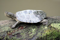 Little creek turtle
