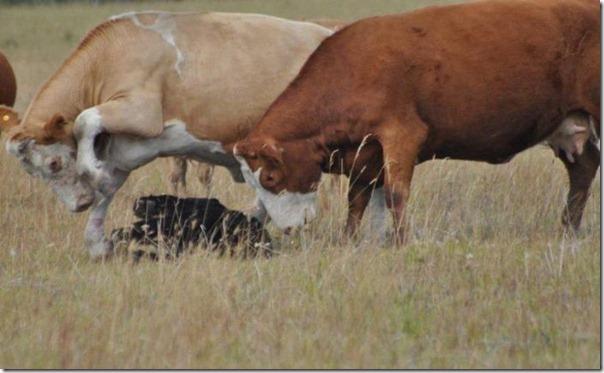 Vacas vs Urso (4)