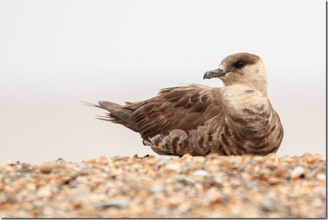 ArcticSkua_Sizewell-3