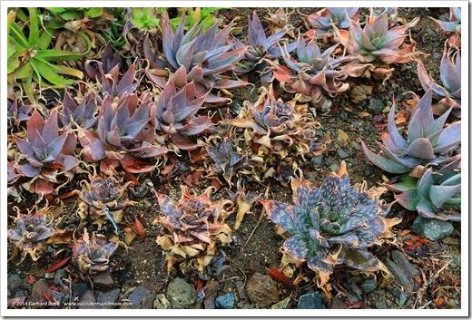 140208_RBG_Aloe-striata-x-maculata- -Aloe-maculata_001