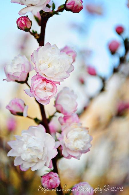 sweet almond-1-w
