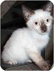 Buonomous, a Siamese kitten from New York City