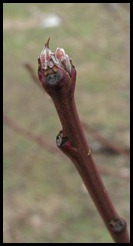 budding branch