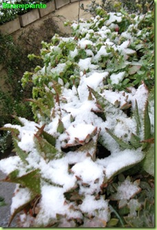 succulente sotto la neve 2012