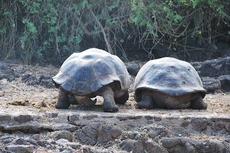 Imagini Galapagos: cuplu testoase gigant