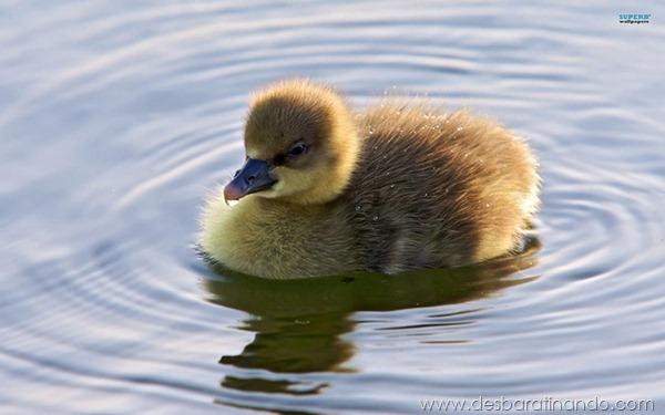 filhotes-patos-fofos-pequenos-desbaratinando (4)