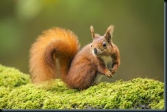 RED Squirrel_2470
