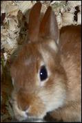 brown bunny  closeup