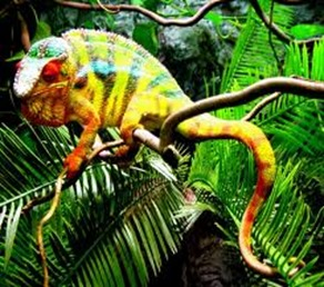 Amazing Pictures of Animals, photo, Nature, Exotic, Funny, Incredibel, Zoo, Panther chameleon, Furcifer pardalis, Reptilia, Alex (17)