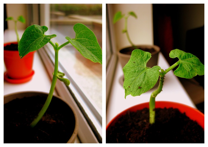 Dwarf French Bean Seedlings Collage