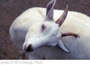 'goat' photo (c) 2010, kkirugi - license: http://creativecommons.org/licenses/by/2.0/
