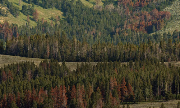 In this 2009 photo, trees infested with the mountain pine beetle die off in large numbers in Yellowstone National Park in Wyoming, turning into red and gray skeletons. A new book by Reese Halter, 'The Insatiable Bark Beetle', attributes the infestation mostly to climate change. Los Angeles Times