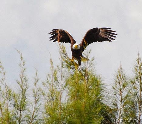 4. eagle-kab