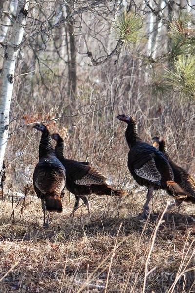 Wild Turkeys (2)