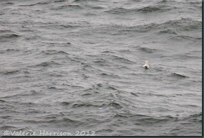 35-gannet