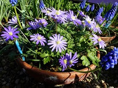 anemone blanda grp hyacinths