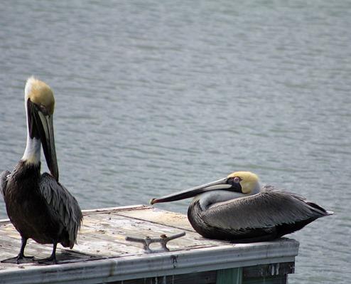 South Padre Pelican5