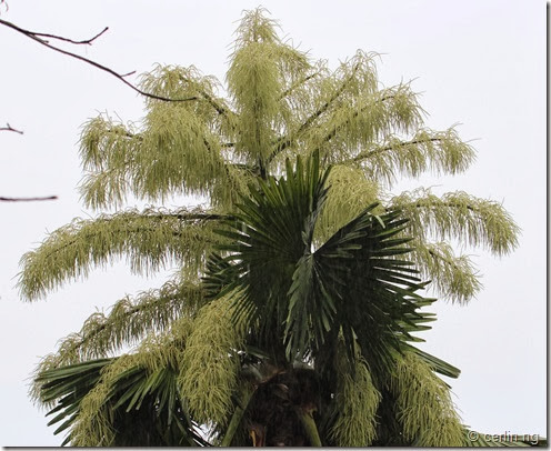 Corypha umbraculifera, the talipot palm