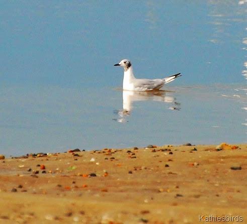 4. bonaparte's gull-kab