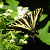Swallowtail.dscn4162