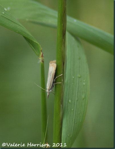 44-Chrysoteuchia-culmella