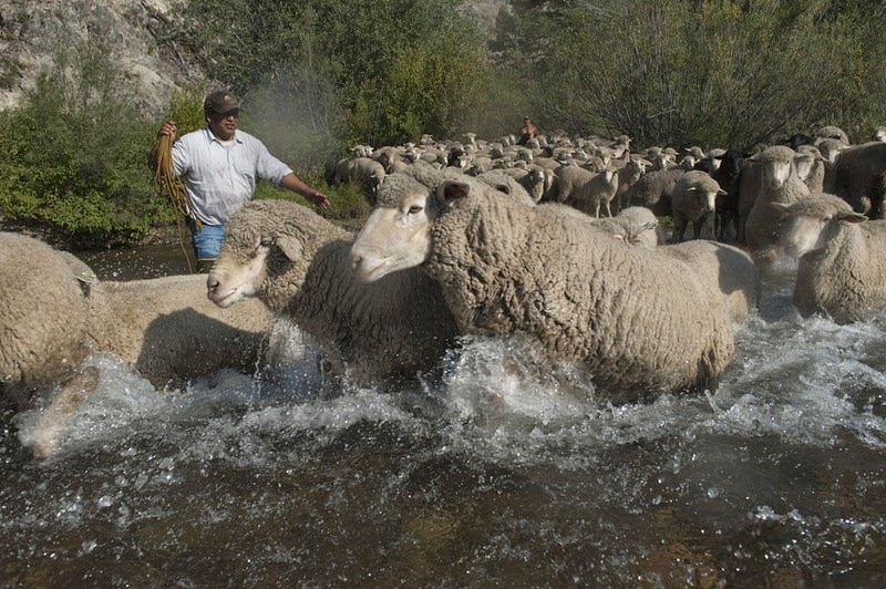 trailing-of-the-sheep-4