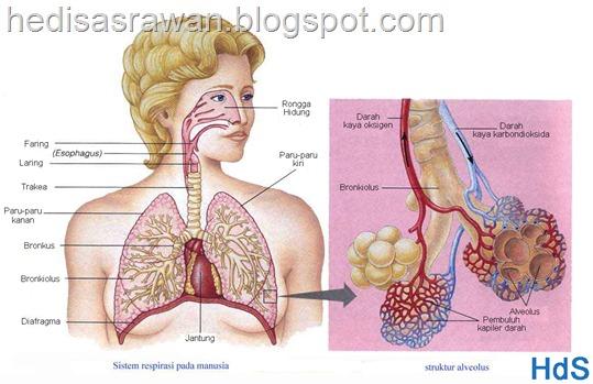 bagian-bagian dan anatomi paru-paru dalam bahasa indonesia