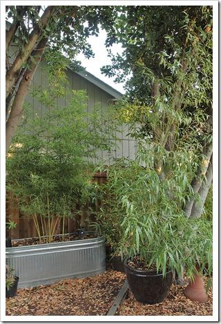 110921_Phyllostachys-bambusoides-Castillon-Inversa_03
