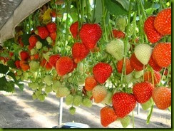 strawberry_fields_lovely_Funzug.org_03 (1)