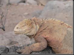Iguana smug