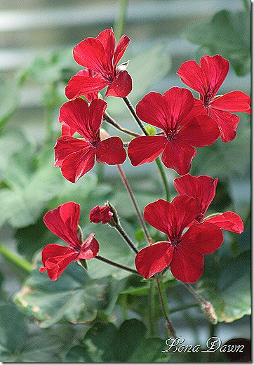 Geranium_Caliente_Fire_June26