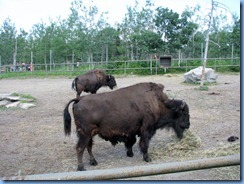 0190 Alberta Calgary - Calgary Zoo The Canadian Wilds - Wood Bison