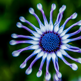African Painted Daisy by Lynn Wiezycki - Nature Up Close Flowers ( purple, white, african painted daisy, daisy, osteospernum, flower )