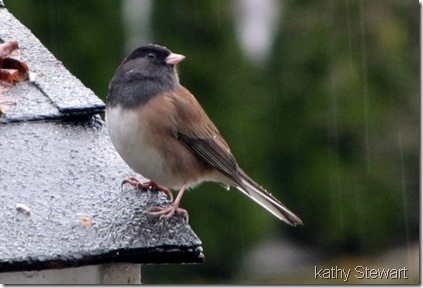 Dark-eyed Junco in the rain