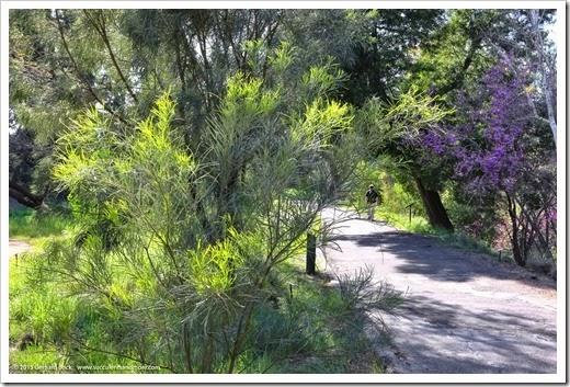 150307_UCDA_033_Acacia-stenophylla