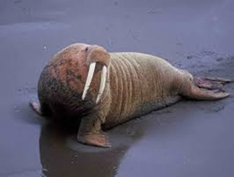 Amazing Pictures of Animals, photo, Nature, exotic, funny, incredibel, Zoo, Walrus,Odobenus rosmarus, Alex (11)