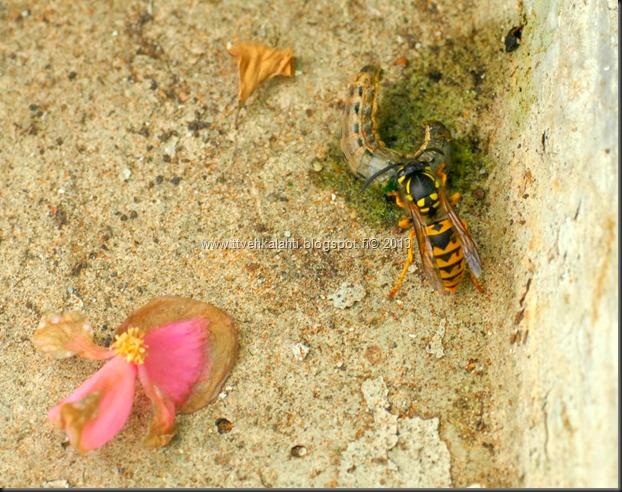 tapaja mehiläinen kala joessa 012