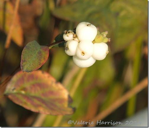 14-snowberry