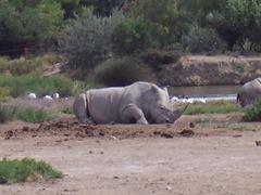 2005.08.28-006 rhinocéros blancs