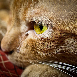 cat by Stefan Mihailovic - Animals - Cats Portraits (  )