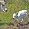 Del new calf just up.JPG