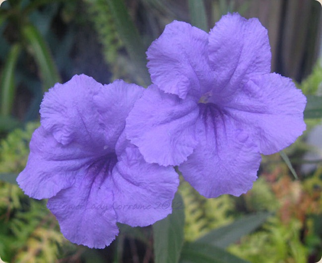 08-03-phil-violets