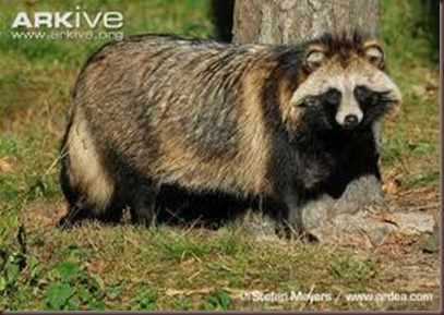 Amazing Animal Pictures Racoon Dog (10)