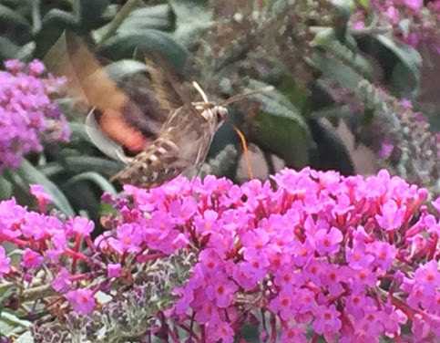 humming bird moth 2
