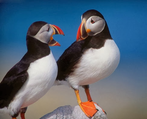 Amazing Pictures of Animals, Photo, Nature, Incredibel, Funny, Zoo, Puffins, Bird, Aves, Alex (1)
