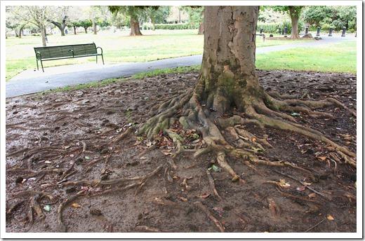120317_Capitol_Park_Magnolia-grandiflora