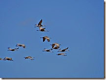 Sand Hill Cranes Wilcox AZ 035