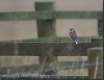 42-reed-bunting-male
