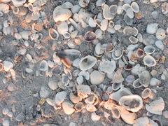 Florida Sanibel seashells piled up on beach1